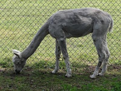 Juni 2019. Vers geschoren alpaca in de omgeving van Nieuw-Roden. (© Harry Perton/https://groninganus.wordpress.com)