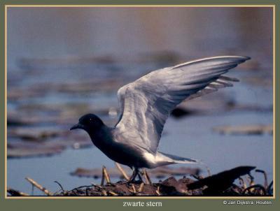 De Nieuwkoopse Plassen, een eldorado voor vogels