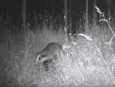 Als je jezelf camoufleert als een graspol of een boomstronk, en je blijft 's nachts heeel lang heeel stil liggen naast deze 'cameraval' in de bossen van Nijswiller, heb je dus kans dat je o.a. een das te zien krijgt.