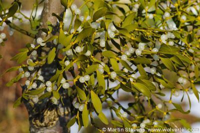 Maretak, mistletoe of vogellijm, halfparasiet op populieren en vruchtbomen, vooral in Zuid Limburg, bijv. in het Noordal bij Noorbeek