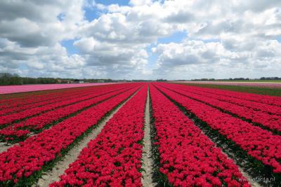 De Noordoostpolder heeft de grootste oppervlakte aan tulpenvelden van ons land. Daarom is hier in april/mei het Tulpenfestival.