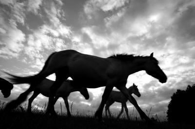 Juni 2019. Konikpaarden in natuurgebied Blauwe Kamer Z van buurtschap Nude schrikken als een jong veulentje, dat door de moeder is verstoten, helaas moet worden afgeschoten. (© Quinten Bulte / www.insectenfotografie.nl)