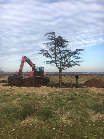 Bij de reconstructie van de Lloydsrotonde in Veendam moest een aantal bomen wijken, waaronder deze mooie cederboom, die door een inwoner geadopteerd mocht worden. Hij staat nu bij Chantal Velting in haar weiland in Ommelanderwijk. (© Ommelandercompagnie)