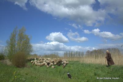De schaapskudde van Ottoland met herder in actie in de berm van de N216 en bij de Smoutjesvliet