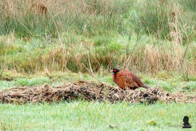 Met een beetje geluk kun je in de omgeving van Oudega de kleurrijke fazanten spotten. Dit exemplaar is goed doorvoed, óf is in verwachting, óf heeft zich 'opgeblazen' om voor de fotograaf extra goed 'uit de verf te komen'. (© https://afanja.com/tag/fazant