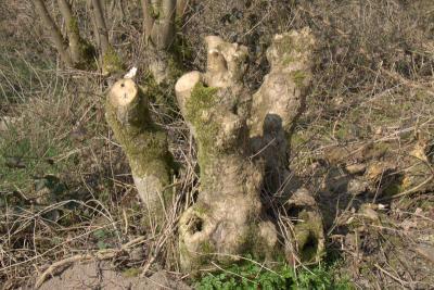 En zie hier het resultaat: zo ziet het essenhakhoutbos in Overlangbroek eruit na het 'hakken' (anno maart 2019). Het bos kan er weer een paar jaar tegen... (© Jan Dijkstra, Houten)