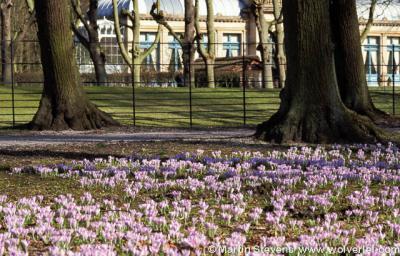 Overveen, Elswout, stinzenflora, voorjaarskrokus