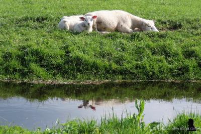 Schaap en zijn twee lammetjes rusten even uit in weiland tussen de buurtschappen Pean en Soarremoarre (april 2019). De oren van het ene lammetje weerspiegelen mooi in het water. (© https://afanja.com/2019/05/14/weerspiegelde-lamsoortjes)