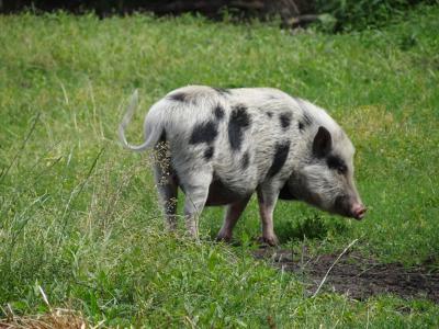 Aan het Achterstewold, direct NO van de dorpskern van Peize, doen ze niet aan 'megastallen'; daar lopen de varkens nog gewoon in de wei, lekker in de modder te wroeten. (© Harry Perton / https://groninganus.wordpress.com/2019/07/12/onlander-ommetje-6)