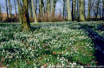 Raerd, stinzenflora (in dit geval sneeuwklokjes) in het Raerder Bosk