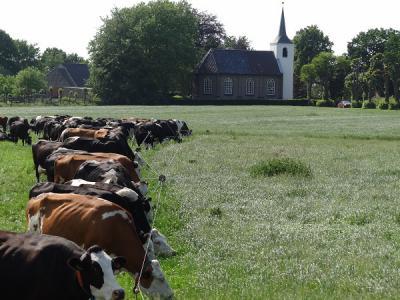 Mals gras genoeg op het eigen weiland, maar bij de buren is het gras kennelijk toch nét nog iets groener... Op de achtergrond de Jacobskerk van Roderwolde. (© Harry Perton / https://groninganus.wordpress.com/2010/05/05/rondje-midwolde-2)