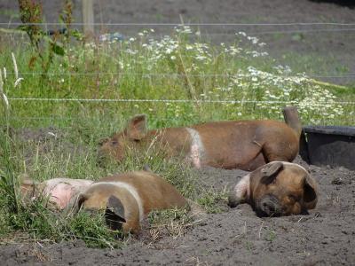 Gelukkig komen er naast de megastallen met 10.000 of meer varkens ook steeds meer boeren die voorstander zijn van schaalverkléining en hun varkens gewoon lekker in de wei en de modder laten rollebollen, zoals deze boer in Roderwolde. (© Harry Perton)