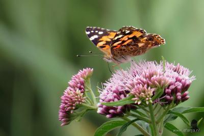 ... of de distelvlinder, die in het voorjaar helemaal vanuit Zuid-Europa naar Nederland fladdert, en dus kennelijk ook naar het Easterskar bij Rotsterhaule. (© www.afanja.com)
