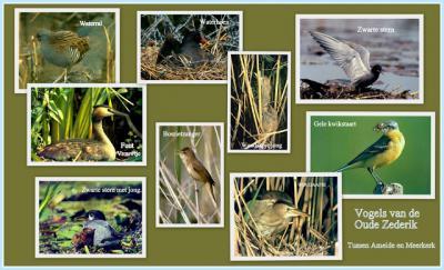 Rond de Oude Zederik / Zouweboezem ZO van de buurtschap Sluis bij Ameide kun je heel veel bijzondere vogelsoorten waarnemen. In de tekst worden ze vermeld en op de fotocollage zie je enkele ervan. (© Jan Dijkstra, Houten)