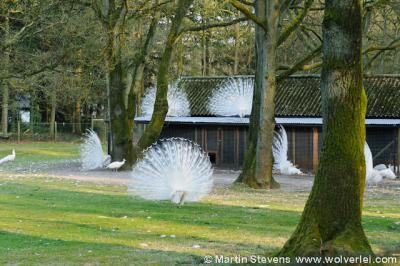 Staverden, de beroemde witte pauwen van Kasteel Staverden