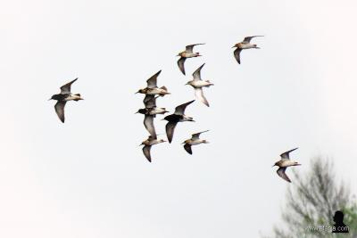 Even later kwam er ook nog een groepje kemphanen (hoantsen in het Fries) in volle vlucht voorbij in de Surhuzumer Mieden.