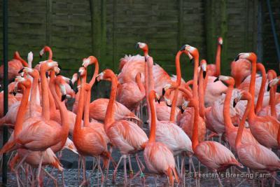 Als je in het NW buitengebied van Swartbroek flamingo's denkt te zien, is dat geen fata morgana. Aan de Ittervoorterweg is nl. de firma VD Feesten's Breeding Farm gevestigd, die o.a. flamingo's en kraanvogels kweekt.
