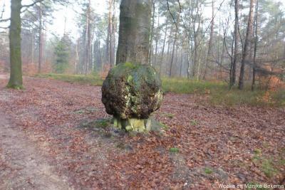 Bossen bij Ugchelen, boom met een 'wratje'...