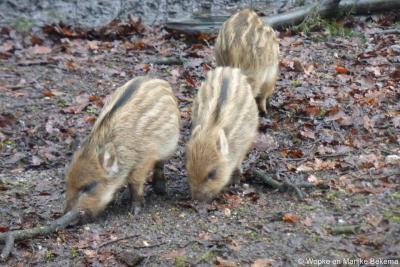 Jonge wilde zwijntjes in de bossen bij Ugchelen. Uiteraard was moeder zwijn ook in de buurt.