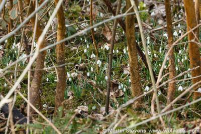Westermient, De Dennen, sneeuwklokjesbos