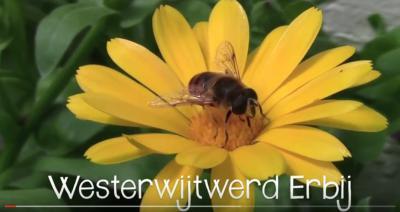 Sinds 2014 is er het initiatief Westerwijtwerd Erbij, dat zich inzet voor de realisatie van een bij- en vlindervriendelijk dorp. Zo is er sinds 2015 een 'idylle' in het dorp. Een idylle is een bloemrijke plek voor vlinders, bijen en mensen.