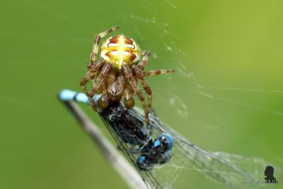 Als je bang bent voor spinnen, zoals de hoofdredacteur van Plaatsengids.nl, kun je beter niet naar het Weinterper Skar bij Wijnjewoude gaan, want daar lopen o.a. dit soort monsters rond (dit is een kruisspin, die een juffertje aan het verorberen is).