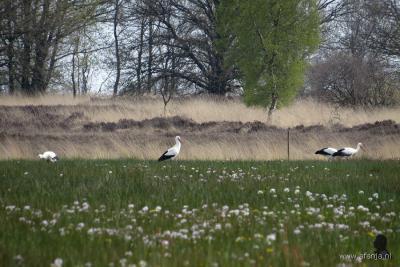 Ooievaars komen in het voorjaar van heinde en verre om in het W van Wijnjewoude gelegen Weinterper Skar te foerageren.