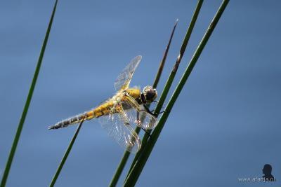Ook libellen kom je tegen in het Weinterper Skar bij Wijnjewoude, zoals de Viervlek op deze foto.