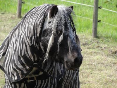 Winde, pony met vlechtjes, vermomd als zebra. (© Harry Perton / https://groninganus.wordpress.com/2019/10/05/rondje-peize-eelde-haren)