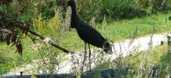 Ook natuurliefhebbers kunnen zich uitleven in Glanerbrug. Zo kun je de Groene Wissel Glanerbrug (16 km) lopen en in de Ecozone Glanerbrug kun je bijzondere dieren tegenkomen, zoals hier in september 2012 de zwarte ooievaar.