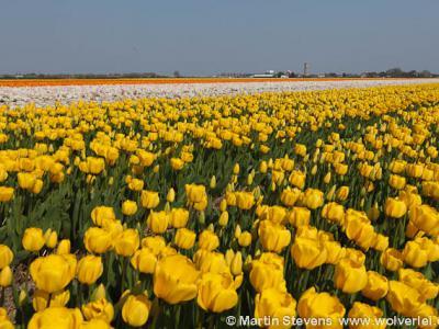 Lisse, de bollenvelden zijn veel bezocht in het voorjaar