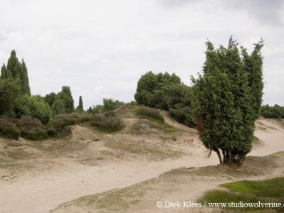 Mantinge, het Mantingerveld is bekend om zijn jeneverbesstruweel