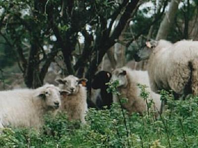 De fauna van het Mergelland kent enkele streekeigen rassen. Zo is er het mergellandhoen en, op de foto, het mergellandschaap. (© www.mergellandschaap.nl)