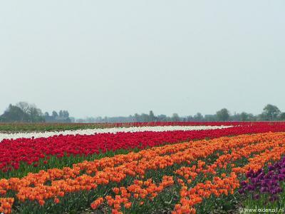 In het voorjaar bloeit de buurtschap Paaptil letterlijk op getuige deze kleurrijke tulpenvelden