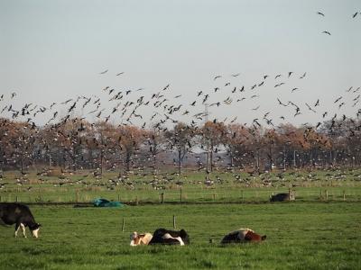 In buurtschap Sandebuur ziet het op sommige dagen zwart van de ganzen (© Harry Perton / https://groninganus.wordpress.com)