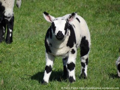 Je zou haast denken dat hier in 't Kret een koe in schaapskleren loopt. Maar het blijkt een 'bont schaap' te zijn. (© Harry Perton/https://groninganus.wordpress.com)